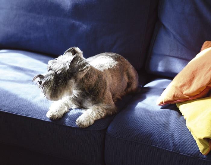 Kanapa, na której wypoczywają zwierzęta wymaga częstego czyszczenia.