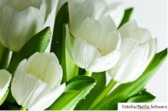 Białe tulipany - Fotolia