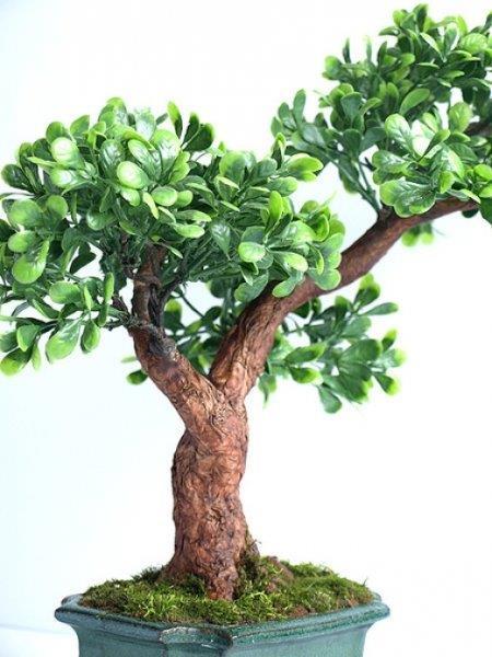 bonsai zokei bukszpan - fot. Etnobazar