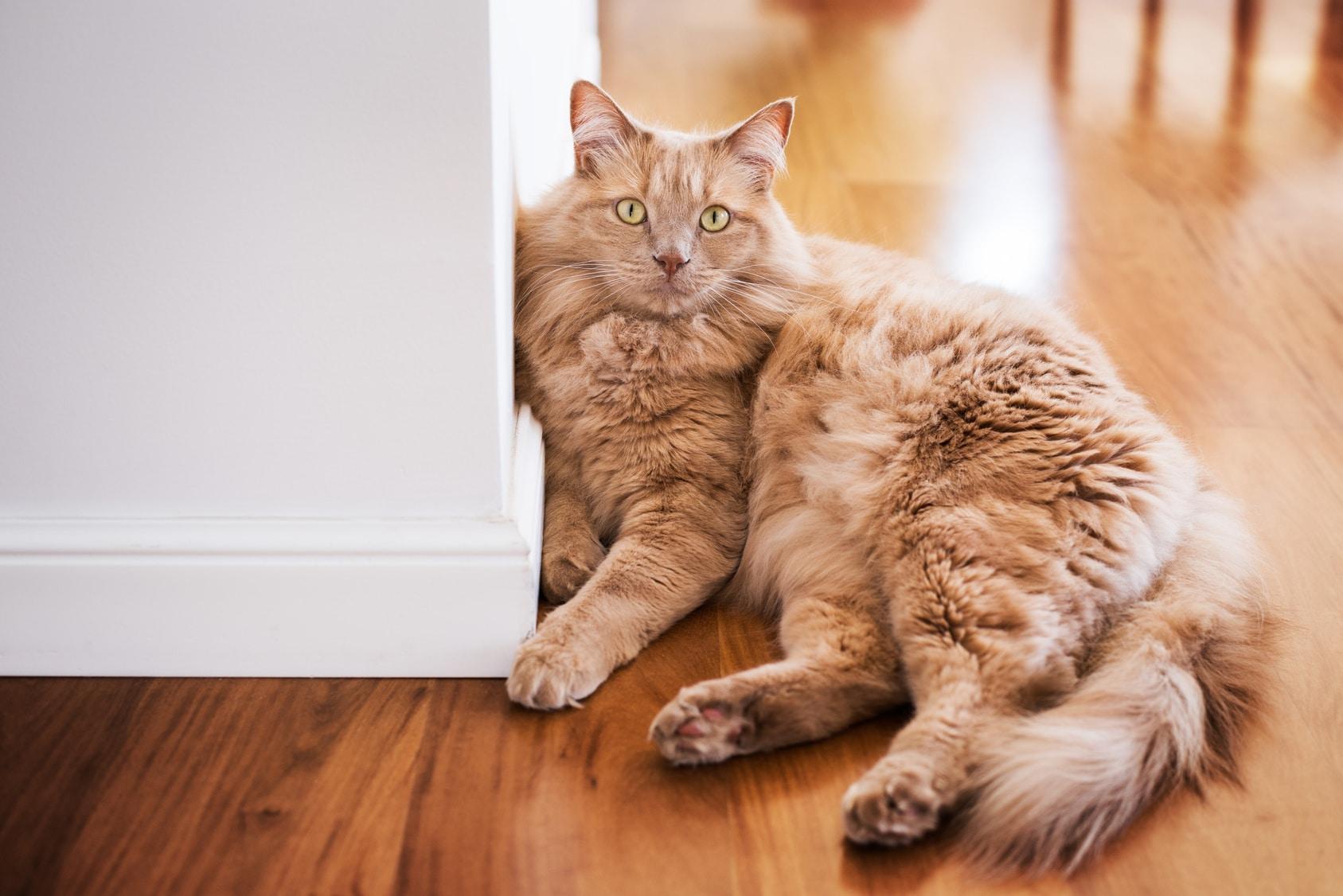 sniezka kot