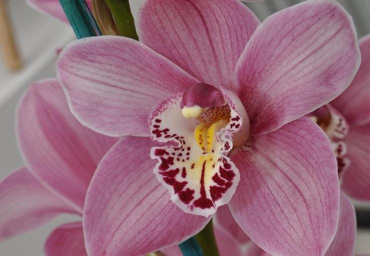 Storczyk; fot. BotanicStock