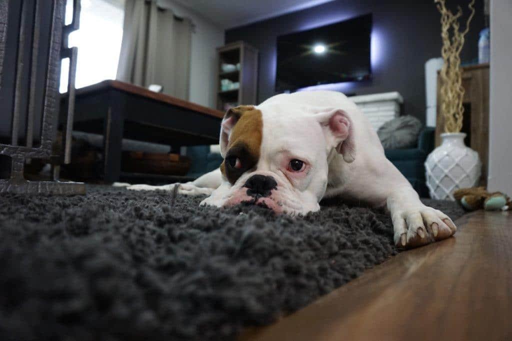 Można ubezpieczyć mieszkanie przed stratami spowodowanymi przez psa